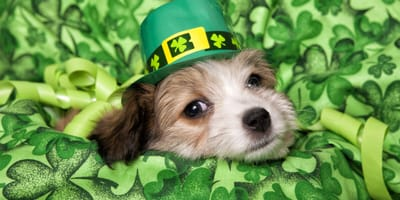 Little dog surrounded by clovers