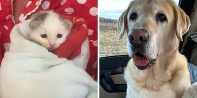 Labrador und Kätzchen