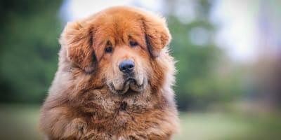 Red Tibetan mastiff dog