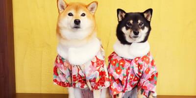 Two Shiba Inu dressed up