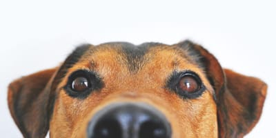 Close up of a Jack Russell dog