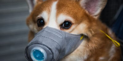 <p>Hong Kong 16.02.2020: Hund mit Gesichtsmaske bei Demonstration gegen die Entscheidung der Regierung ein Epidemiezetrum in Cheung She Wan zu errichten</p>