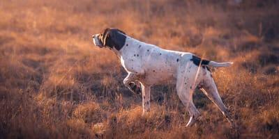 Vorstehhund Deutsch Kurzhaar