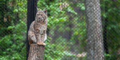 lynx sitting on a tree trunk