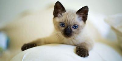 Siamese kitten rests on sofa