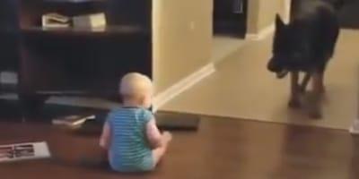 Baby schaut Schäferhund an