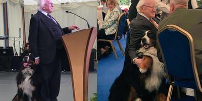 Irish president Higgins with bernese mountain dogs