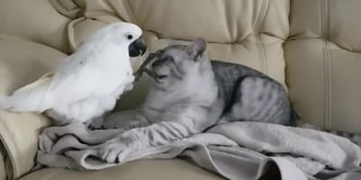 Cockatoo putting his claws on British Shorthairs face