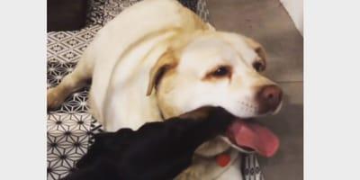 Labrador i jamnik kochają się tak bardzo, że jedzą sobie z łapy. A w zasadzie z pyszczków