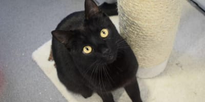 Calypso the miniature panther is waiting for a family to take him home!