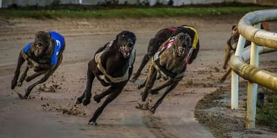 3 greyhounds race around the bend of a track