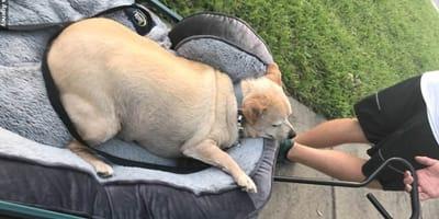 Dicker Chihuahua in Bollerwagen