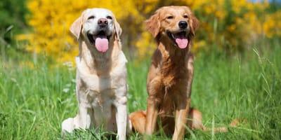 Golden Retriever e Labrador razze di cani per principianti