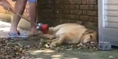 labrador sleeping while owner sweeps leaves