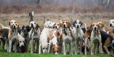 Laufhunde auf Feld