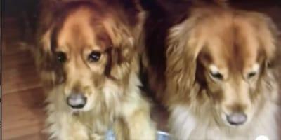Familie vertraut Golden Retriever einem Hundesitter an: Als sie das Foto sieht, springt sie sofort ins nächste Flugzeug!
