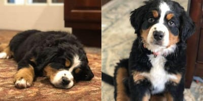 Bernese mountain grief therapy dog