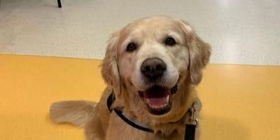 golde-retriever-perro-de-terapia