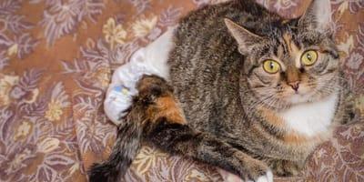 Come scegliere i pannolini per gatti e farglieli indossare?