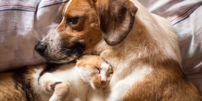 Dirofilariosis en gatos y perros