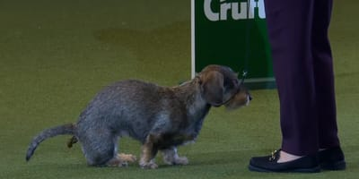wire-haired dachshund poops