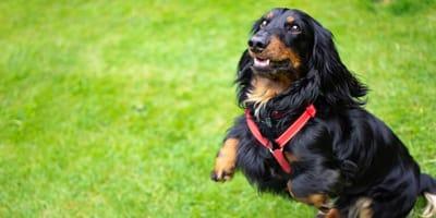cane-gioca-sul-prato-con-lussazione-al-gomito