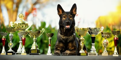 Competitive obedience: How to teach your dog commands