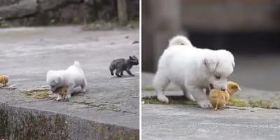 cachorro juega con pollitos