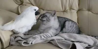 gato pelea cacatua