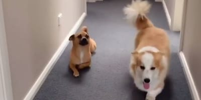 brown dog crawls on the floor next to long haired corgi