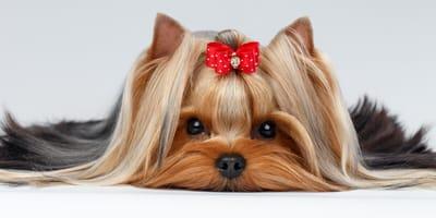 ¿Cuántos días están las perras en celo? Cuál es la duración, las etapas y cómo ayudar a tu peludita