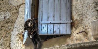 cane in attesa alla finestra