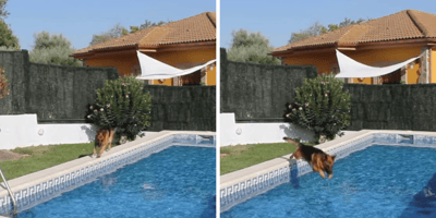 german shepherd jumping in pool