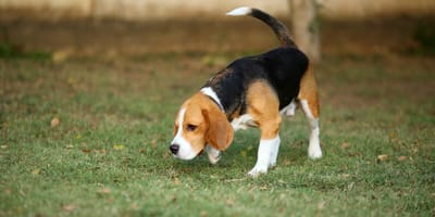 Beagle dog sniffing in a field