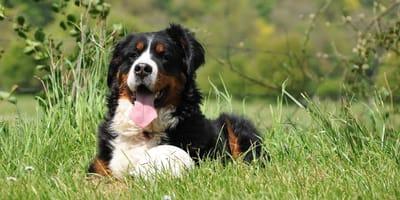 Bovaro-del-Bernese-gioca-con-displasia-del-cane
