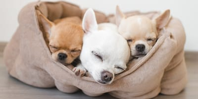 Drei Chihuahuas