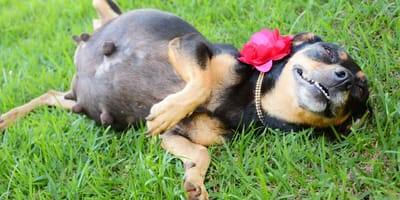 pregnant mix breed smiling for photo