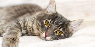 Czy kot może przenosić koronawirusa?