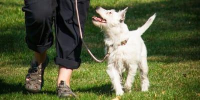 Come insegnare al cane a camminare al tuo fianco?