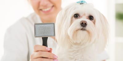 Pielęgnacja maltańczyka — jak dbać o włos tego wyjątkowego psiaka?