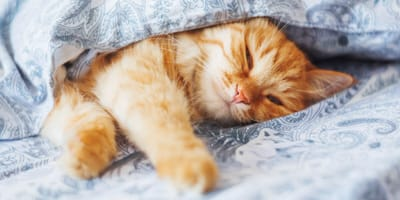 Ginger cat sleeping in a bed