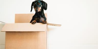 Dachshund dog in a box