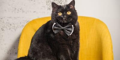 Gato negro ojos amarillos