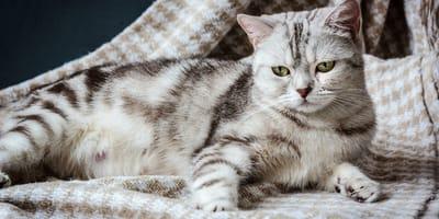 Embarazo de una gata: síntomas y comportamiento