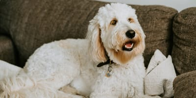 White Goldendoodle on a couch
