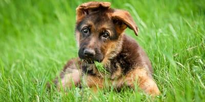 Schäferhund Welpe im Gras