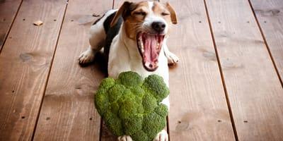 brocoli para perros