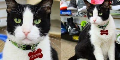 Gato zapatero de monterrey