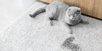 Quali sono i rimedi contro il forte odore di urina del gatto?