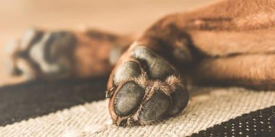 ¿Cómo desinfectar las patas de mi perro?